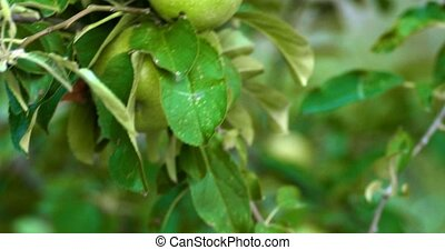 Apple tree with green unripe apples fruits on its branches...