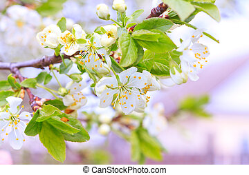 apple trees in soft flowers