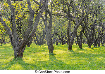 Apple trees in the garden at summer day time.