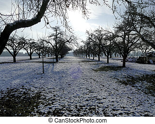 apple trees on a meadow in wintertime with snow