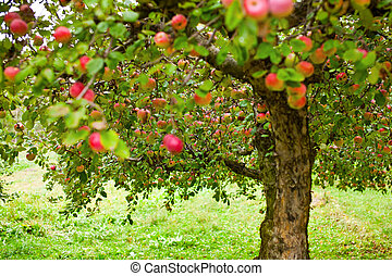 Apple trees orchard - Apple trees in an orchard, with red ...