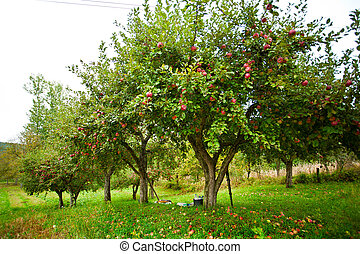 Apple trees orchard - Apple trees in an orchard, with red...