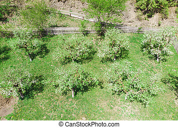 apple trees view from above