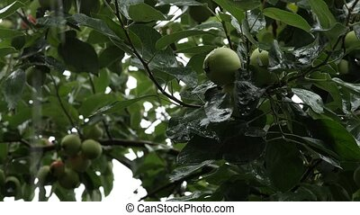 apple trees with green apples on a branch in the rainy day,...