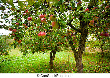 Apple trees with red apples - Trees with red apples in an...
