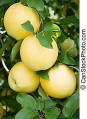 Apples - Apple orchard. Ginger Cold apples.