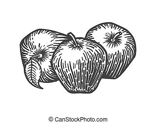 Apples engraving style vector illustration