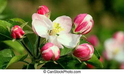 Apples  flowers