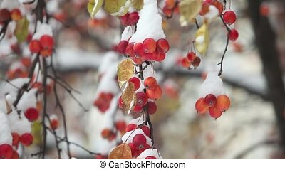 Apples hang on apple tree branches covered snow