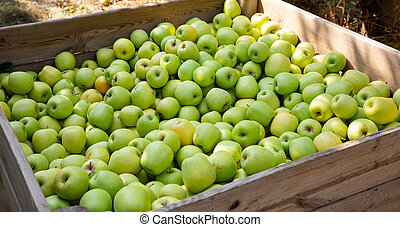 Apples harvest in big crate