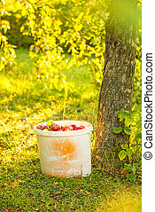 apples in a bucket in a garden