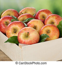 Apples in a wooden box during harvest in autumn