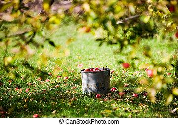 Apples in bucket under the apple tree