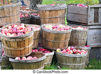Freshly picked apples in bushels and crates still under the apple tree