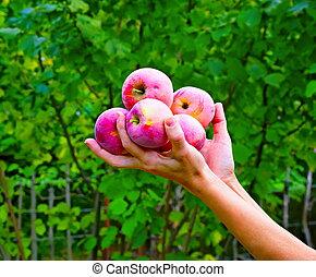 Apples in hands