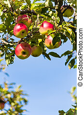 apples in the fall on an apple tree. fresh vitamins in the...