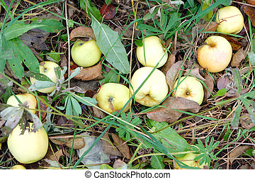 Apples in the grass close-up, autumn composition