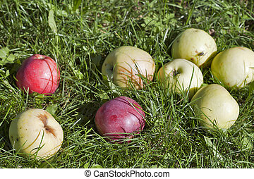 Apples in the grass