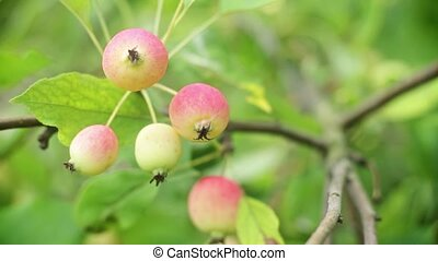 Apples on a branch
