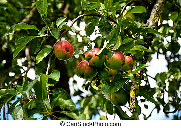 apples on a tree in summertime