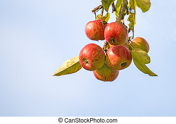 apples on a tree in summertime with blue sky