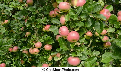apples on branches and wind
