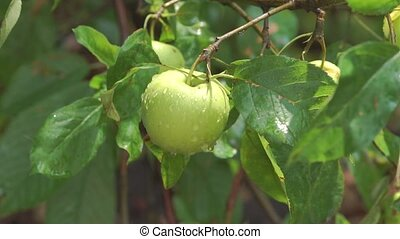apples on branches of an apple tree in rain
