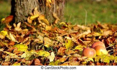 Apples on fallen leaves