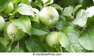 Apples on the branches of Apple trees in garden