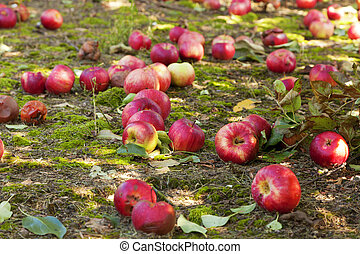 Apples covering the ground at an apple orchard in Kentucky