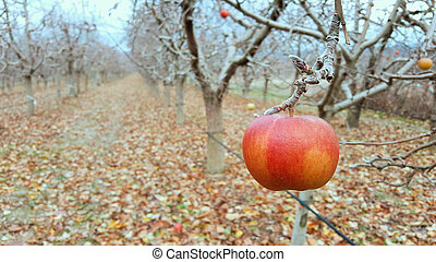 apples on the tree in an orchard in december