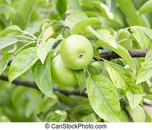 apples on the tree in nature