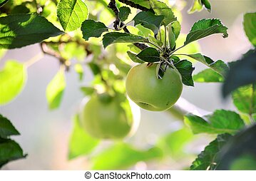 apples on the tree ready for harvesting, morning shot