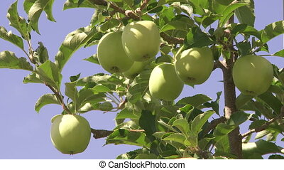 Apples on the tree - Close up of green apples on the tree
