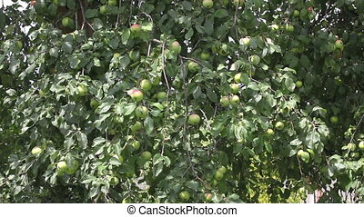 Apples on the tree with wind