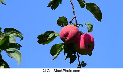 apples on tree in the garden. Against background of blue sky