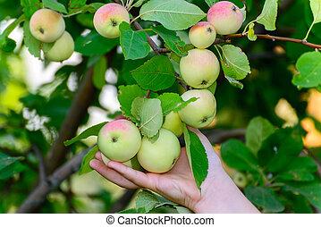 apples on  tree in the garden