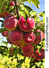 Apples on tree - Organic ripe apples ready to pick on tree ...