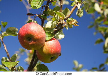 Apples on Tree - Two ripe apples on a tree against a bright...