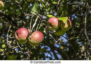 apples ripen on a tree