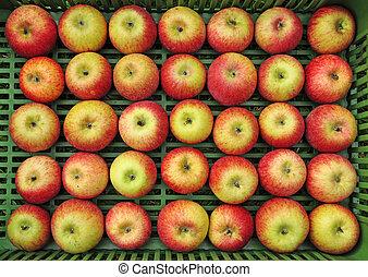 Apples set in rows