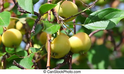 Apples - Bunches of ripe yellow apples hanging on the...