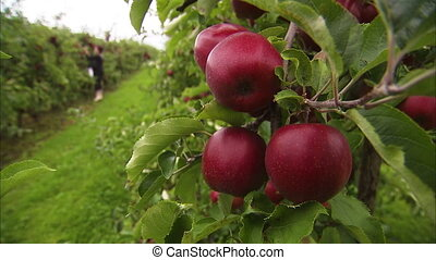 Apples swaying on a tree - A close up steady shot of red and...