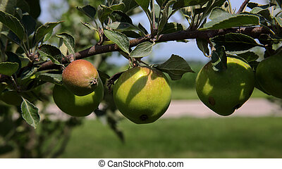 Apples with red blush on branch with leaves