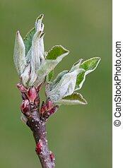 Appletree Buds