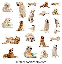 apportierhund, goldenes