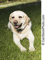 apportierhund, hund, labrador