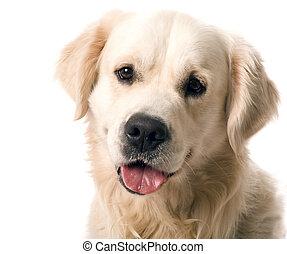 apportierhund, posierend, gold, studio.