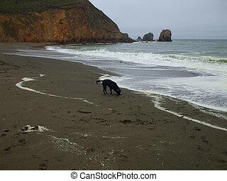 apportierhund, schwarzer hund, labrador