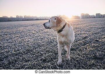 apportierhund, sonnenaufgang, gegen, cityscape, labrador